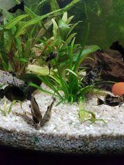 Dalmatina Mollys black Mollys