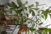 Gummibaum 3-stämmige Pflanze