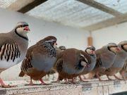Steinhühner Rothühner keklik Chukar küken