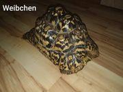 Pantherschildkröten paraldis babcocki von 2012