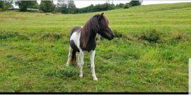 Pferde - Isländerstute tragend