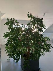 XXL-Birkenfeige Ficus Benjamina