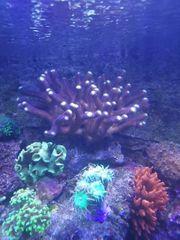 meerwasser korallen doktorfisch clownfisch aalgrundeln