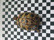 Griechische Landschildkröten aus Hobbyzucht 2020