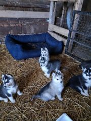 Hunde Huskywelpen