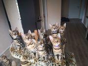 reinrassige Bengal Kitten gechipt voll