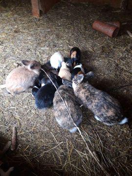 Bild 4 - gebe mehrere Kaninchen und Meerschweinchen - Westerburg Gershasen
