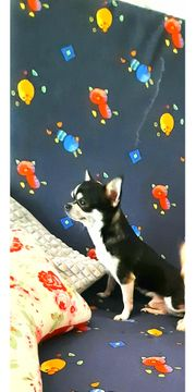 Reinrassiger Chihuahua Deckrüde