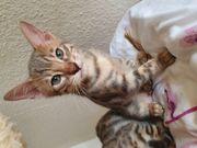 Bengal Kitten in der Farbe
