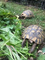 Griechische Landschildkröte Adult 25 bis