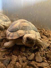 Breitrandschildkröten aus Zucht von 2019