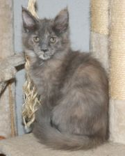 Maine Coon Kitten - Flauschkugeln mit