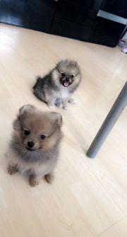 Zwergspitz Pomeranian In Ingolstadt Hunde Kaufen Verkaufen Auf Quoka De