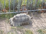 1 0 Testudo Marginata Breitrandschildkröte