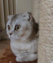Scottish Katze mit Knickohren