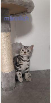 Kitten Americanchothair whiskas