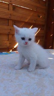 Ein Britisch Perser mischling Katzenbaby