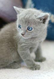 Wunderschöne Kartäuser Chartreux Kitten