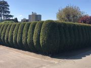 Hecke Sträucher Tannen Bäume schneiden