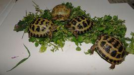 Vierzehen Landschildkröten Russische Landschildkröten von: Kleinanzeigen aus Röderau-Bobersen - Rubrik Reptilien, Terraristik
