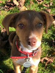 Jack Russell Terrier Mix 4