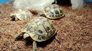 Griechische Landschildkröten 2016