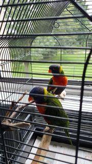 Papagei Lori