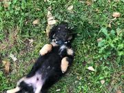 chihuahua mix Pinscher mischlingswelpe