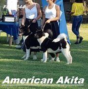 Amerikanische Akita Welpen