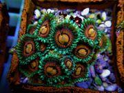 Meerwasser Pterapogon kauderni Kardinalbarsch Röhrenkoralle