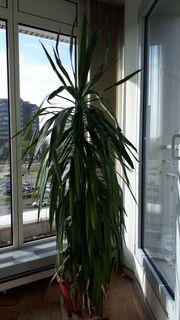 Zimmerpflanze 2 Yucca Palmen
