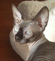 Canadyan Sphynx Katze Nacktkatze