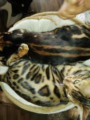 Reinrassige Bengal Kitten Kater 20