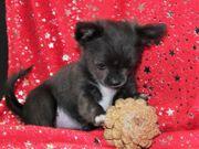 Zuckersüße Chihuahuaprinzessin