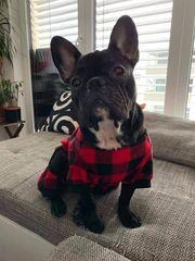 Französische Bulldogge Kiko sucht