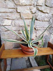 Kaktus Agave Americana Hundertjährige Agave