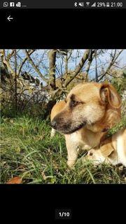 Familienhund ELVIS - Toller