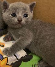Russisch Blau BKH Kitten