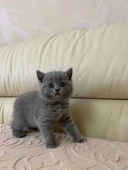 BKH Kitten Reinrassige BKH Kätzchen