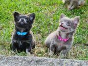 Hübsche Chihuahua Langhaar Welpen Blue