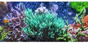 Div SPS LPS Anemone Zoanthus