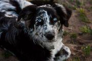 Australien Shepherd Deckrüde