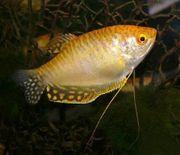 Gold fadenfische