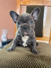 Französische Bulldogge Weiblich