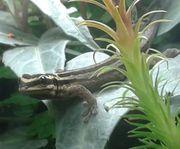 Lygodactylus kimhowelli Männchen 1 0