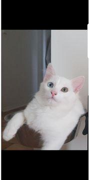 Odded eye Mix Coonie Kitten