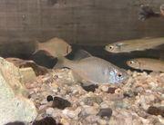 Köderfische Rotaugen Schleien