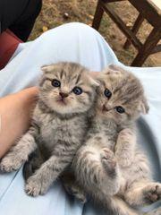 5 bkh kitten