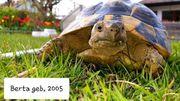 Kleine Gruppe griechische Landschildkröten