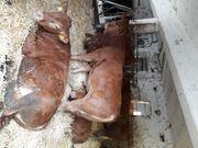 Verkaufe Limousin-Absetzer